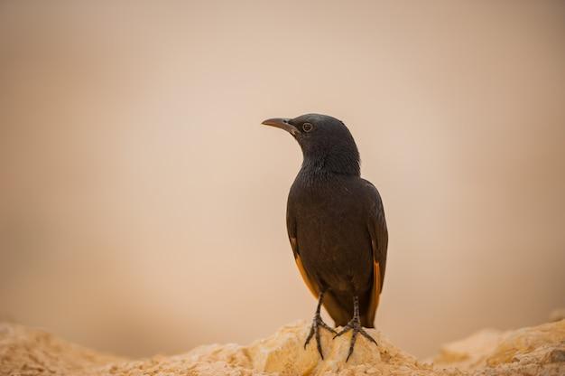 Blackbird no contexto do deserto israelense.