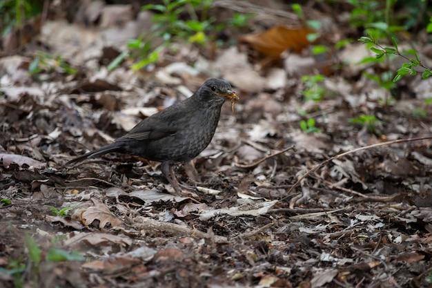 Blackbird, turdus merula, macho solitário no chão, segura um verme em seu bico, alimentando-se de pássaros