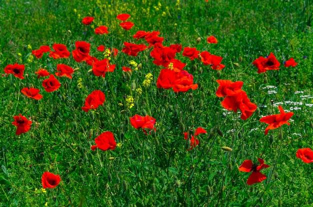 Bloom flores de papoula vermelhas selvagens com um belo borrão bokeh no fundo da grama verde
