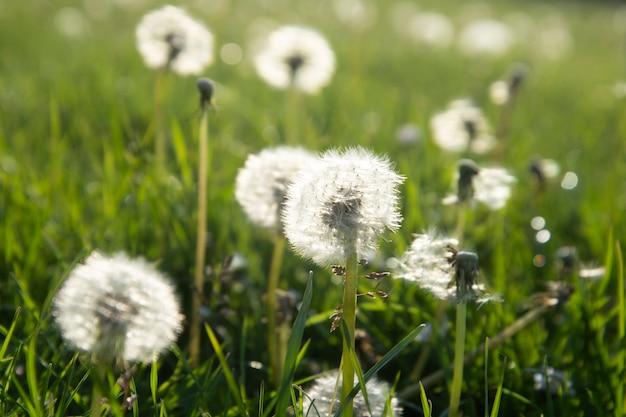 Bloomig flores de dente de leão. conceito de tempo de primavera.