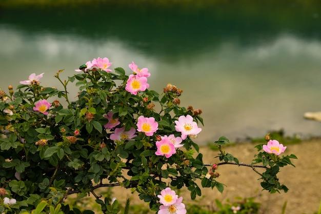 Blooming rosehip rosa canina com flores e botões rosa.
