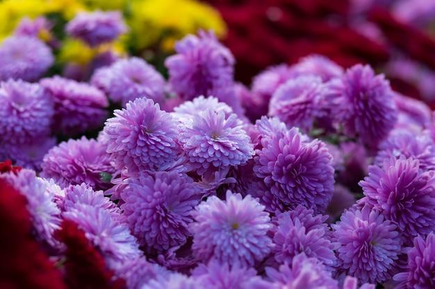 Blooming roxo amarelo e purpur mums ou crisântemos