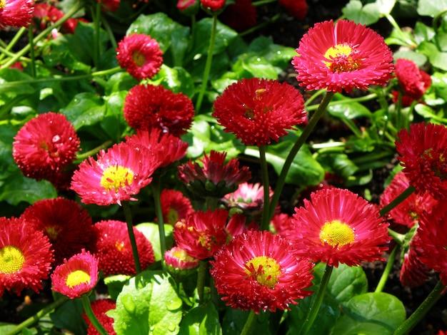 Blooming vívido rosa inglês daisy, tasso pink flores com orvalho da manhã à luz do sol