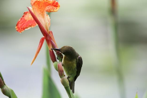 Blossom orange canna flores cor bonita com néctar de alimentação de aves