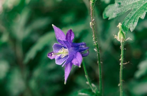 Blue aqulegia no jardim em um fundo desfocado de vegetação na primavera