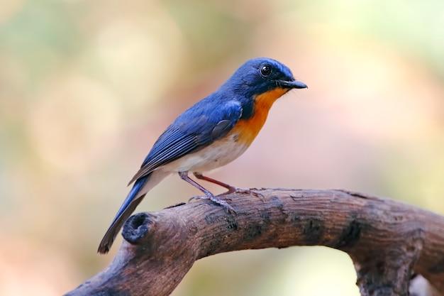 Blue flycatcher de tickell cyornis tickelliae belas aves masculinas da tailândia
