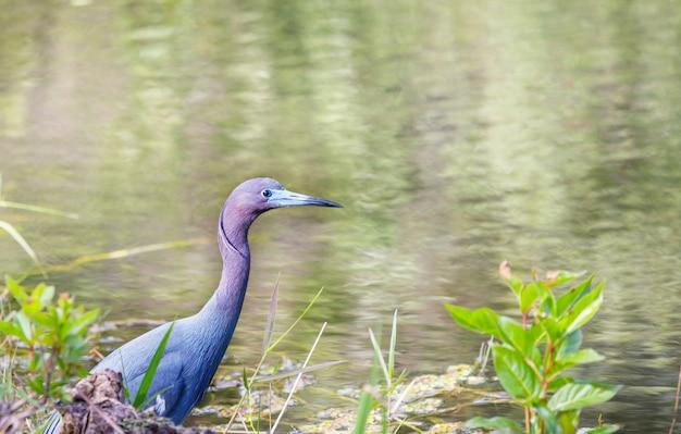 Blue heron, flórida, eua parque nacional de everglades, natureza selvagem, safári, observação de pássaros