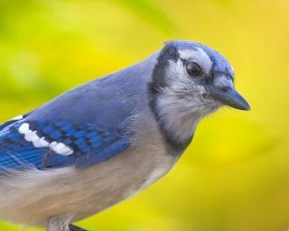 Blue jay animais