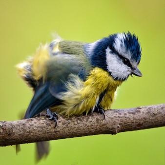 Blue tit cyanistes caeruleus sentado em uma vara na natureza