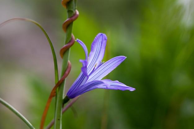 Bluebells azuis dos wildflowers em um fundo da grama verde.