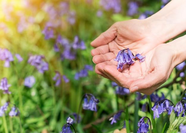 Bluebells roxos nas palmas das mãos contra prado bluebell