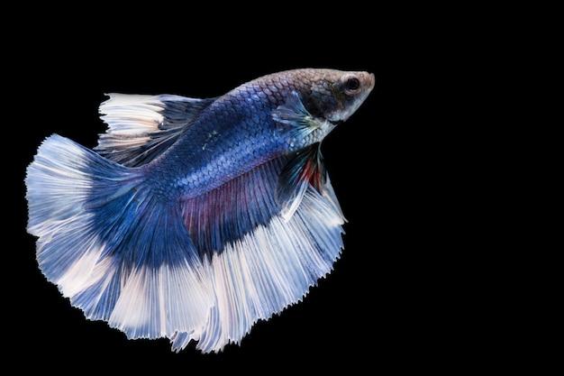 Bluee betta fish, peixe-lutador-siamês