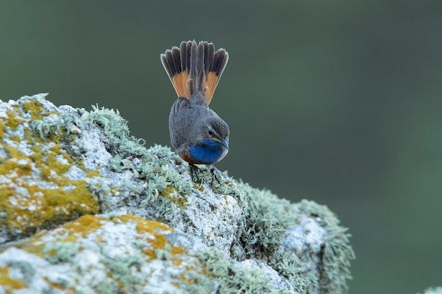 Bluethroat masculino na época de reprodução com a primeira luz do amanhecer em uma rocha em seu território