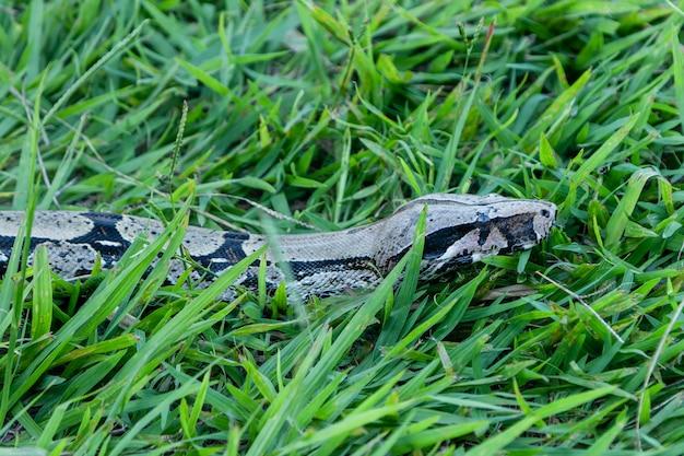 Boa (boa constrictor) passeando pelo gramado.