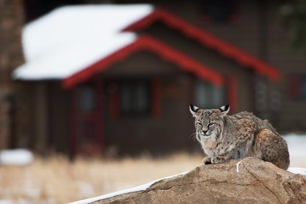 Bobcat em área residencial
