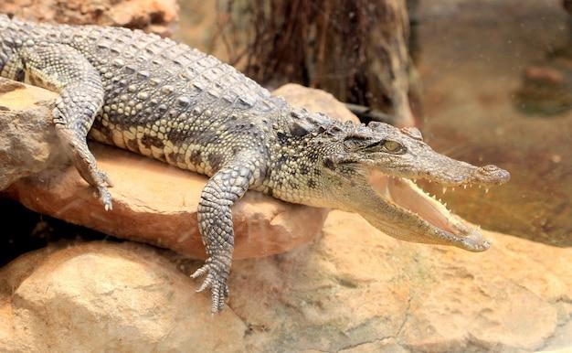 Boca aberta de crocodilo
