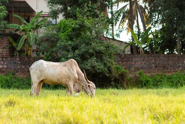Boi bovino branco pastando em um campo agrícola em goa, índia