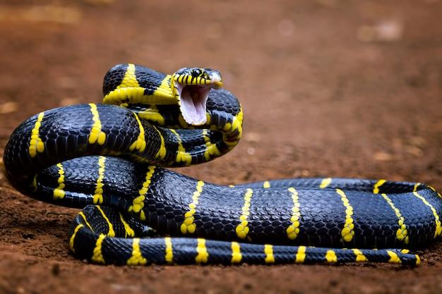 Boiga cobra dendrófila com anéis amarelos