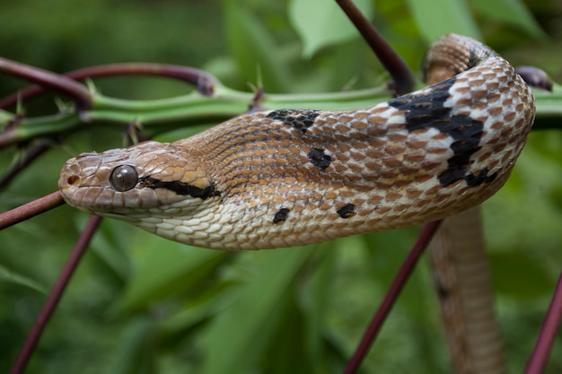 Boiga cynodon a cobra gato com dentes de cachorro