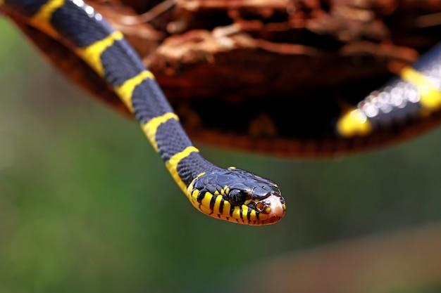 Boiga dendrophila, cobras aneladas amarelas