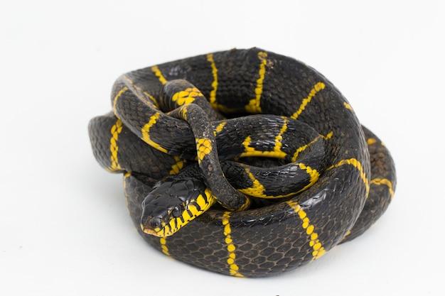 Boiga dendrophila comumente chamada de cobra do manguezal ou cobra-gato com anel de ouro em fundo branco