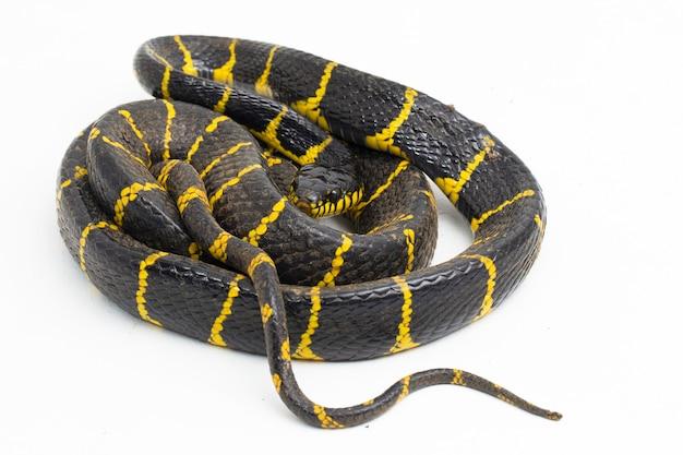Boiga dendrophila comumente chamada de cobra do manguezal ou cobra-gato com anel de ouro em fundo branco Foto Premium