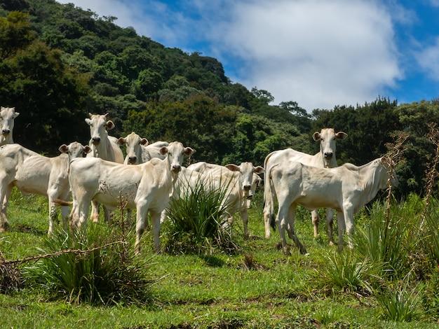 Bois que vivem livres no campo - gado