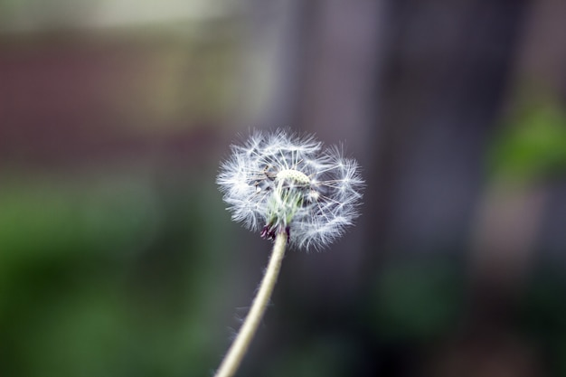 Bola de sopro-leão, bola de sopro, cabeça de semente