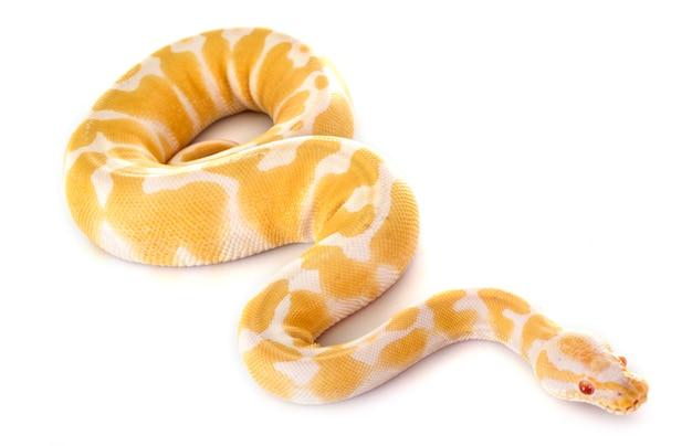 Bola python