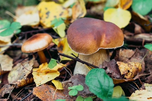 Boleto na floresta. cogumelo branco no outono