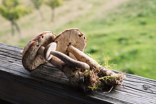 Boletos de tampa marrom são cogumelos comestíveis de verão. alimentos naturais da floresta. colheita nos cárpatos ucranianos
