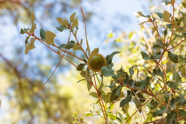 Bolota em um galho de árvore na floresta de outono