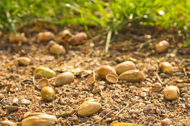 Bolotas do outono que encontram-se no close-up à terra na floresta do outono.