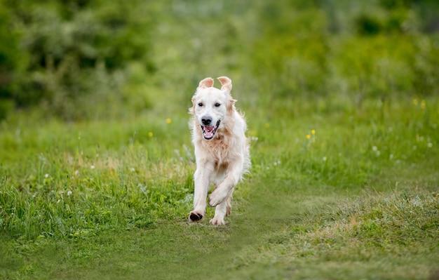 Bom cachorro correndo na natureza da primavera