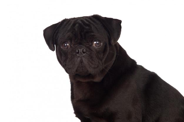 Bom cão pug carlino com cabelo preto isolado no fundo branco