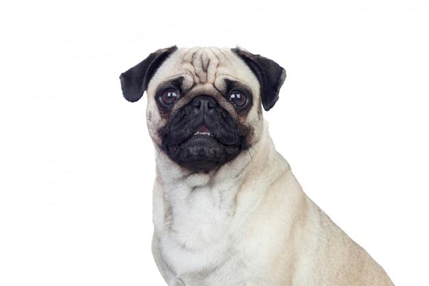 Bom pug carlino cachorro com cabelo branco