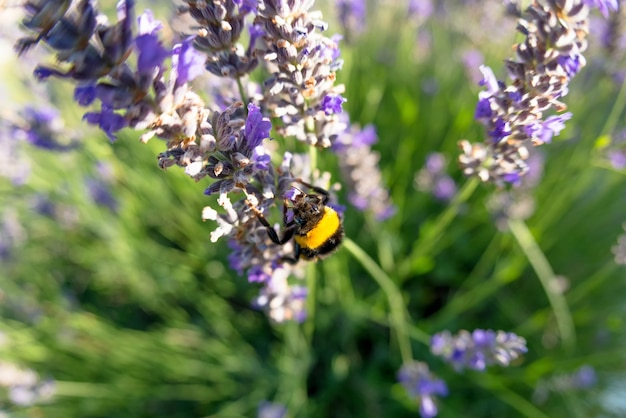 Bombus terrestris e a flor de lavanda
