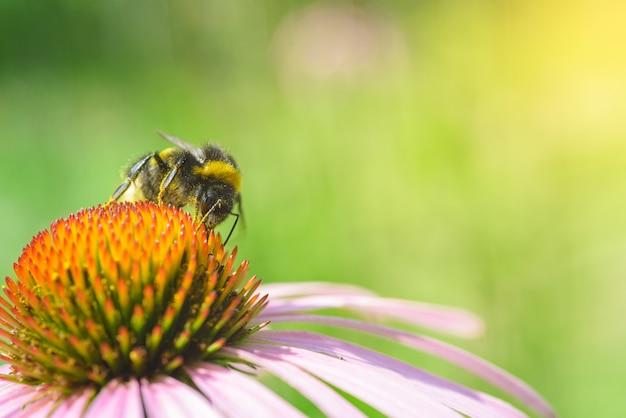 Bombus. única abelha na flor de equinácea. Foto Premium