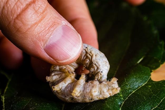 Bombyx mori, bicho da seda, na palma da mão de uma pessoa.