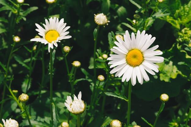 Bonita flor romântica da margarida com pólen amarelo vívido e pétalas brancas longas close-up