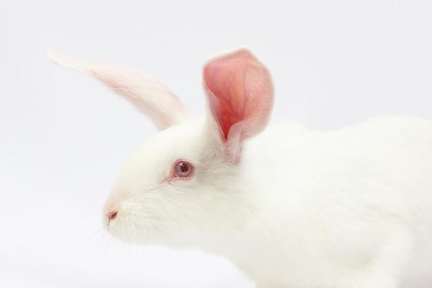 Bonitinho e fofinho. close de um lindo coelho branco olhando para a câmera isolada no fundo branco com espaço de cópia