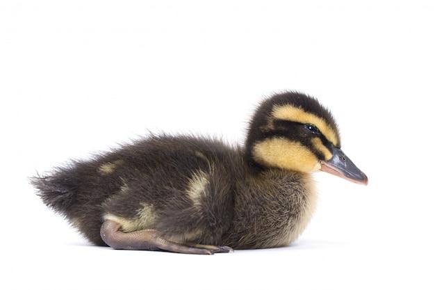 Bonitinho patinho fofo recém-nascido. um jovem pato isolado em um fundo branco.