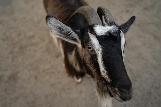 Bonito cabra olhando. mamífero preto e branco. retrato de um animal. fechar-se