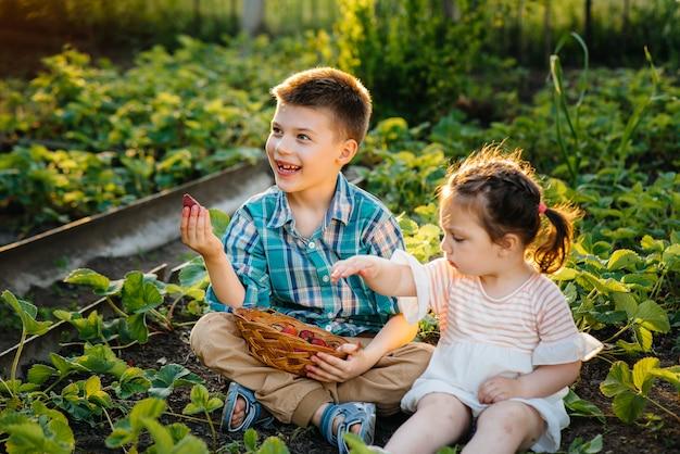 Bonito e feliz irmãozinho e irmã em idade pré-escolar coletam e comem morangos maduros no jardim em um dia ensolarado de verão. infância feliz. colheita saudável e ecológica.