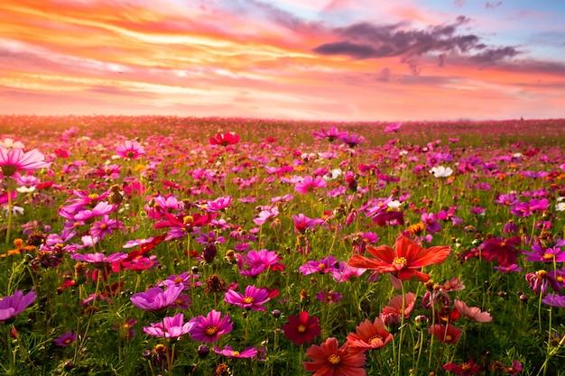 Bonito e surpreendente da paisagem de campo de flor de cosmos no pôr do sol