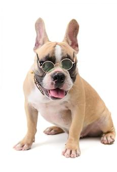 Bonito francês bulldog usa óculos e sentado isolado