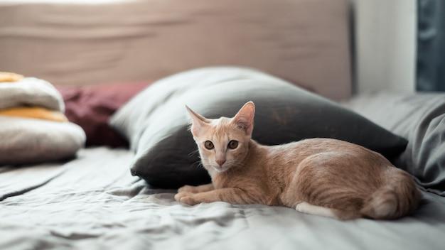 Bonito jovem gato asiático de cabelo curto