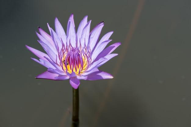 Bonito, loto, florescer, lagoa