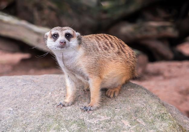 Bonito meerkat de cauda delgado