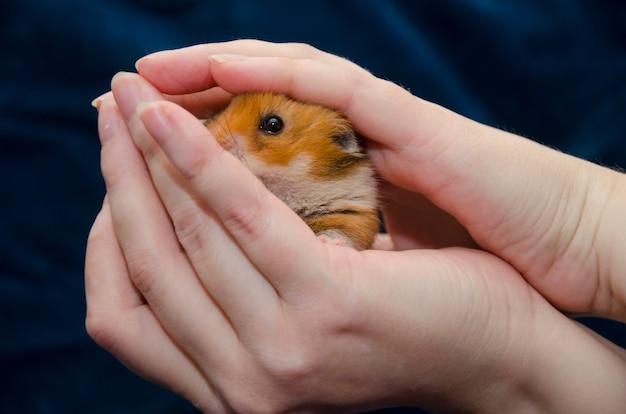 Bonito pequeno hamster sírio escondido em mãos humanas